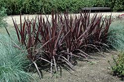 Purple Sensation Cordyline (Cordyline 'Purple Sensation') at Roger's Gardens