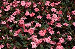 SunPatiens Compact Coral Pink New Guinea Impatiens (Impatiens 'SunPatiens Compact Coral Pink') at Roger's Gardens