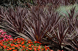 Red Sensation Grass Palm (Cordyline australis 'Red Sensation') at Roger's Gardens