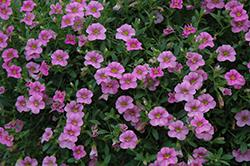 Cabaret Light Pink Calibrachoa (Calibrachoa 'Balcablinkim') at Roger's Gardens