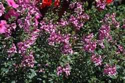 Alonia Pink Romance Angelonia (Angelonia angustifolia 'Alonia Pink Romance') at Roger's Gardens