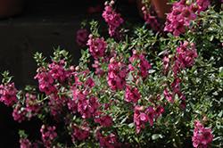 Alonia Big Dark Pink Angelonia (Angelonia angustifolia 'Alonia Big Dark Pink') at Roger's Gardens