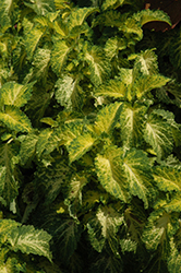 Party Time Lime Coleus (Solenostemon scutellarioides 'Party Time Lime') at Roger's Gardens