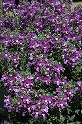 Alonia Big Violet Angelonia (Angelonia angustifolia 'Alonia Big Violet') at Roger's Gardens