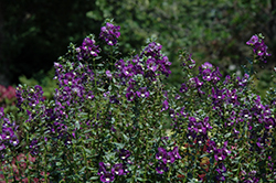 Alonia Big Indigo Angelonia (Angelonia angustifolia 'Alonia Big Indigo') at Roger's Gardens