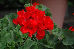 Tango Dark Red Geranium (Pelargonium 'Tango Dark Red') at Roger's Gardens