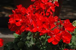 Tango Red Geranium (Pelargonium 'Tango Red') at Roger's Gardens