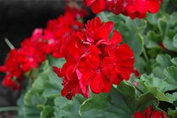 Calliope Dark Red Geranium (Pelargonium 'Calliope Dark Red') at Roger's Gardens