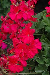 Calliope Hot Pink Geranium (Pelargonium 'Calliope Hot Pink') at Roger's Gardens