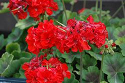 Brocade Fire Geranium (Pelargonium 'Brocade Fire') at Roger's Gardens