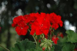 Sunrise Bright Scarlet Geranium (Pelargonium 'Sunrise Bright Scarlet') at Roger's Gardens