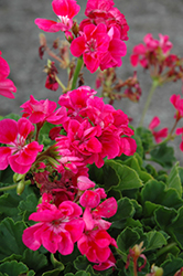 Survivor Hot Pink Geranium (Pelargonium 'Survivor Hot Pink') at Roger's Gardens
