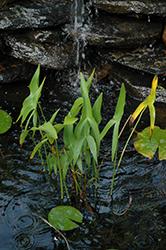 Broadleaf Arrowhead (Sagittaria latifolia) at Roger's Gardens