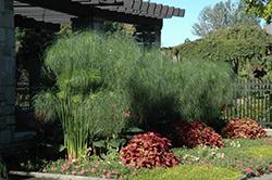 King Tut Egyptian Papyrus (Cyperus papyrus 'King Tut') at Roger's Gardens