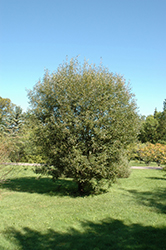 Pussy Willow (Salix discolor) at Roger's Gardens