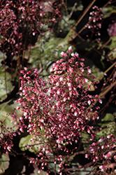 Frosted Violet Coral Bells (Heuchera 'Frosted Violet') at Roger's Gardens