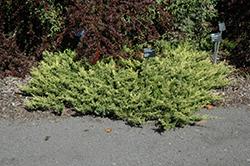 Lime Glow Juniper (Juniperus horizontalis 'Lime Glow') at Roger's Gardens