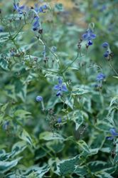 Snow Fairy Variegated Bluebeard (Caryopteris divaricata 'Snow Fairy') at Roger's Gardens