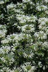 Snow White Beebalm (Monarda 'Snow White') at Roger's Gardens