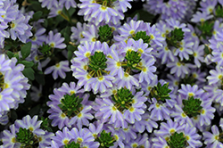 Whirlwind Starlight Fan Flower (Scaevola aemula 'Whirlwind Starlight') at Roger's Gardens