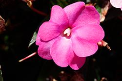 SunPatiens Compact Hot Pink New Guinea Impatiens (Impatiens 'SAKIMP061') at Roger's Gardens