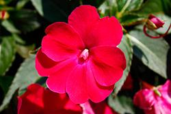 SunPatiens Compact Rose Glow New Guinea Impatiens (Impatiens 'SAKIMP061') at Roger's Gardens