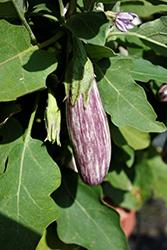Jewel Marble Eggplant (Solanum melongena 'Jewel Marble') at Roger's Gardens