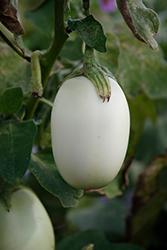 Jewel Jade Eggplant (Solanum melongena 'Jewel Jade') at Roger's Gardens