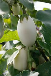 Jewel Ivory Eggplant (Solanum melongena 'Jewel Ivory') at Roger's Gardens