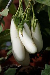 White Fingers Eggplant (Solanum melongena 'White Fingers') at Roger's Gardens