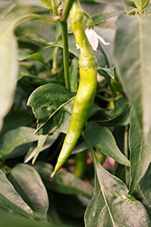 Golden Cayenne Hot Pepper (Capsicum annuum 'Golden Cayenne') at Roger's Gardens