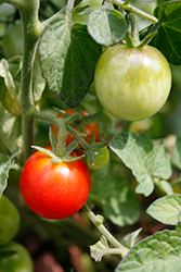 Patio Choice Red Tomato (Solanum lycopersicum 'Patio Choice Red') at Roger's Gardens
