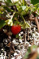 Berried Treasure White Strawberry (Fragaria ananassa 'Berried Treasure White') at Roger's Gardens