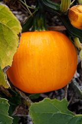 Wee Be Little Pumpkin (Cucurbita pepo 'Wee Be Little') at Roger's Gardens