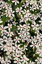 Soiree Kawaii White Peppermint Vinca (Catharanthus roseus 'Soiree Kawaii White Peppermint') at Roger's Gardens