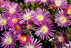 Delmara Pink Ice Plant (Delosperma 'Delmara Pink') at Roger's Gardens