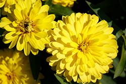 Zahara Double Yellow Zinnia (Zinnia 'Zahara Double Yellow') at Roger's Gardens