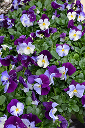Cool Wave Violet Wing Pansy (Viola x wittrockiana 'PAS835631') at Roger's Gardens
