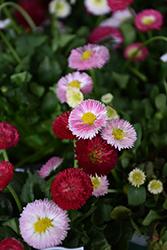 Bellisima Mix English Daisy (Bellis perennis 'Bellissima Mix') at Roger's Gardens