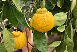 Tangerine (Citrus tangerina) at Roger's Gardens