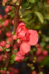 Double Take Peach Flowering Quince (Chaenomeles speciosa 'NCCS4') at Roger's Gardens