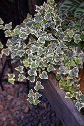 Glacier Ivy (Hedera helix 'Glacier') at Roger's Gardens