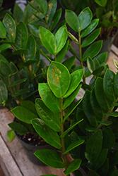 ZZ Plant (Zamioculcas zamiifolia) at Roger's Gardens