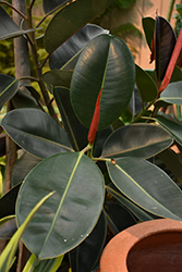 Rubber Tree (Ficus elastica) at Roger's Gardens