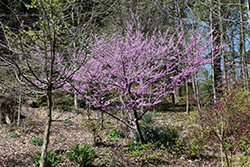Hearts of Gold Redbud (Cercis canadensis 'Hearts of Gold') at Roger's Gardens