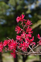 Ever Red Sunset Fringeflower (Loropetalum chinense 'Ever Red Sunset') at Roger's Gardens
