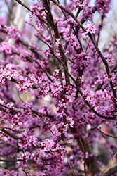 Ace Of Hearts Redbud (Cercis canadensis 'Ace Of Hearts') at Roger's Gardens