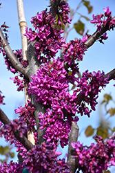 Oklahoma Redbud (Cercis canadensis 'Oklahoma') at Roger's Gardens