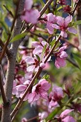 Elberta Peach (Prunus persica 'Elberta') at Roger's Gardens