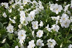Endurio White Pansy (Viola cornuta 'Endurio White') at Roger's Gardens